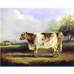 A Short Horned Cow