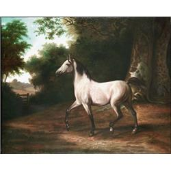 A gray Arab Stallion